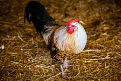 Cock in the farm. White cock in the farm Stock Photo