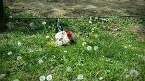 Cock on a field. Amongst dandelions Royalty Free Stock Photo