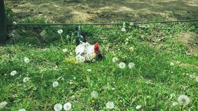 Cock on a field. Amongst dandelions Stock Image