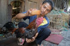 Cock fighter training activities in the Old City of Semarang Stock Photo