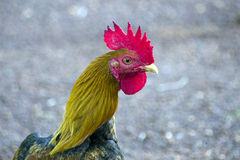 Cock Royalty Free Stock Images