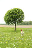 Cock in front of tree Stock Photos