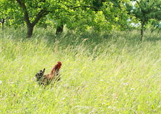 Cock in grass Stock Photos
