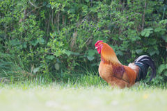 Cock in grass Royalty Free Stock Photos