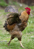 A cock on grass Stock Image