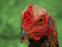 Cock in green background stock photo