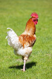 Cock on green grass Stock Image