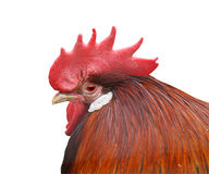 Cock head. Isolated rooster head on white background Stock Photos