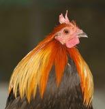 Cock head Stock Photo