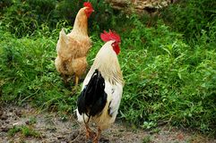 Cock and hen Stock Photo