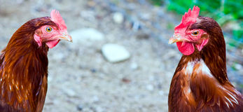 Cock and hen Royalty Free Stock Photo