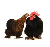 and  hen Royalty Free Stock Photo