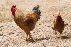 Cock and Hen Royalty Free Stock Photography