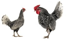 Cock and  hen Royalty Free Stock Image