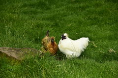 Cock and hen. Couple cock and hen on a beautiful green meadow, drink water, nice view, funny have feathers on head mohawk Eating egg meat Stock Images
