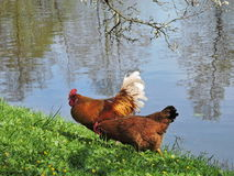 Cock and hen. On grass near river , Lithuania Stock Photo