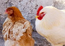 A cock and a hen near a sunny wall. A cock and his hen are sitting near a sunny wall in a December day Royalty Free Stock Photography