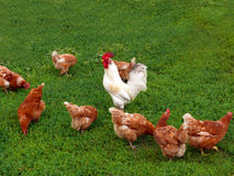 Cock and hens Royalty Free Stock Photography