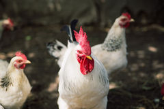Cock and hens. The white cock costs among hens and looks forward Stock Photography