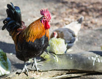 . Homemade chicken. Roosters stand out bright, colorful plumage, lush tail feathers and spurs Royalty Free Stock Photos