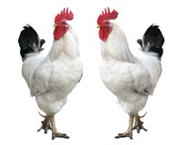 Cock isolated, rooster Stock Image