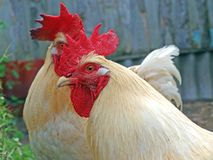 Cock look Royalty Free Stock Image