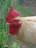 Cock look 2 Stock Images
