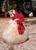 Cock lying. White rooster with a bright red crest Royalty Free Stock Photo