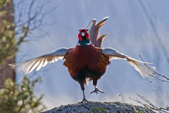 The Cock Pheasant in action. The beautiful colored male Pheasant (Phasianus colchicus) in a typical action when he performs his mating call. The body plumage is Stock Images