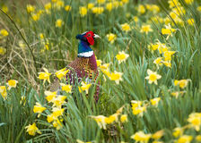 Cock Pheasant in Daffodils Royalty Free Stock Image