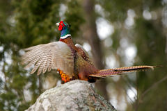 The Cock Pheasant performing his mating call Stock Photography