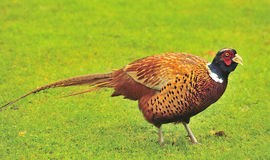 Cock Pheasant (Phasianinae colchicus) Stock Photos