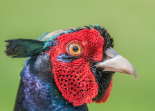 Cock Pheasant Royalty Free Stock Images