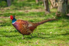 Cock Pheasant Stock Images