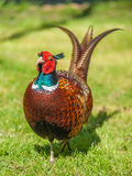 Cock Pheasant Royalty Free Stock Photo