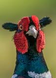 Pheasant. A Pheasant : phasianus colchicus royalty free stock photos