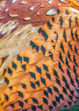 Cock Pheasant Stock Image