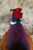 The Cock Pheasant (Phasianus colchicus). With his fantastic colorful plumage, the red wattle and the bottle green crests on the head, the blue and green neck Royalty Free Stock Photos