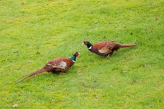 Cock pheasants facing off on wet grass Royalty Free Stock Photo