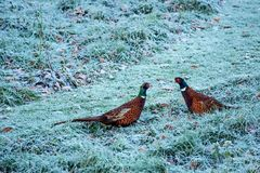 Cock pheasants at war. Two cock pheasants facing each other off in frosted grass Royalty Free Stock Photos