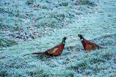 Cock pheasants at war Royalty Free Stock Photos