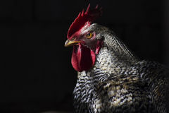 Cock. Portrait of rooster illuminated by early morning Royalty Free Stock Photography