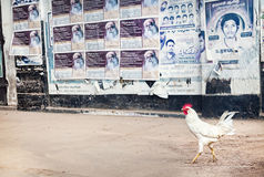 Cock in Puducherry Stock Photography