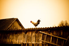 Cock on a roof Stock Images