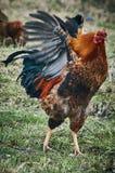 Cock. Stock Photos