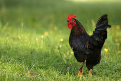 Free Cock Rooster Royalty Free Stock Photos - 2335578