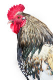 Cock rooster Royalty Free Stock Image