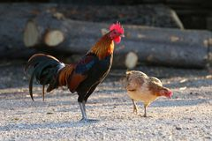 Cock, Rooster Asia and broody Hen Family, Fighting cock, Gamecock in the countryside. The Cock, Rooster Asia and broody Hen Family, Fighting cock, Gamecock in Stock Photo