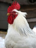 Cock, rooster head Royalty Free Stock Images