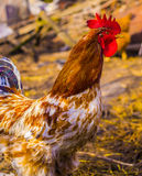 Cock. Rooster In A Farm Stock Photos